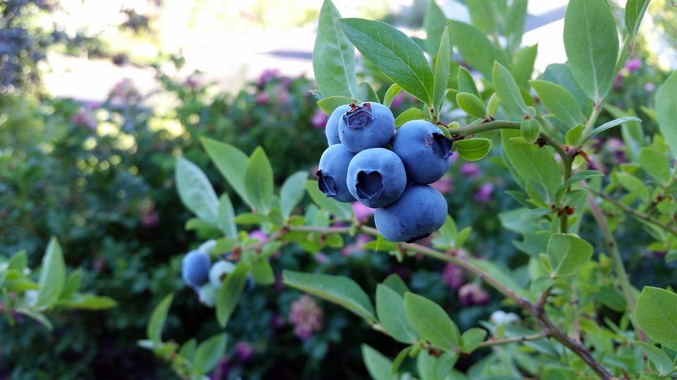 藍莓在田裡---安可人生