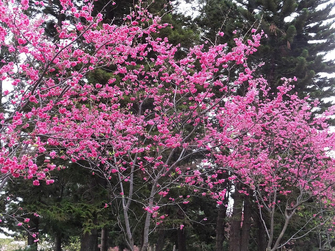 山櫻花照片-安可人生