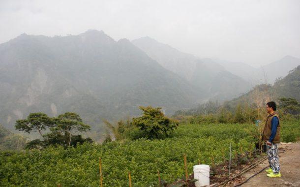 阿里山上的桑葉茶園,為帕金森症老母親研發好茶