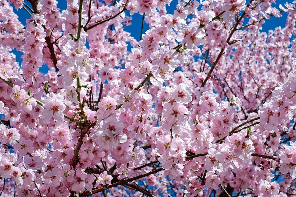 在櫻花下慢跑 沿著北橫公路賞櫻旅行