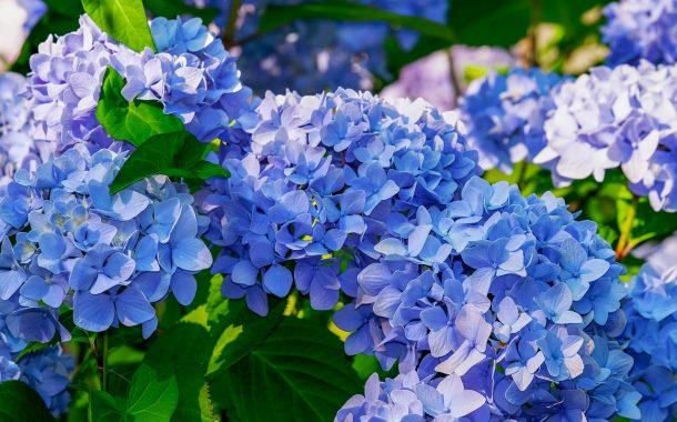 Anke生活|竹子湖繡球花季,7大地景+2條經典路線一次收藏